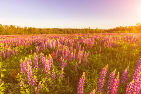 Sunrise or sunset on a field with purple lupins on a clear summer day with a clear cloudless sky and birch trees in the background. Landscape.