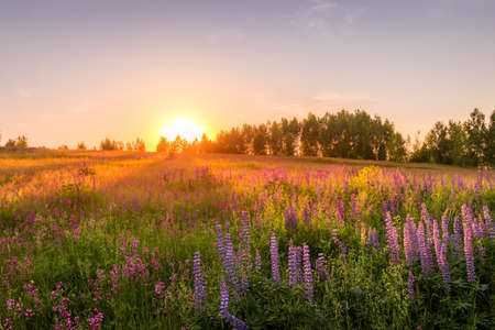 Sunset or dawn on a field with purple lupins, wild carnations and young birches in clear summer weather and a clear cloudless sky. Landscape. Archivio Fotografico
