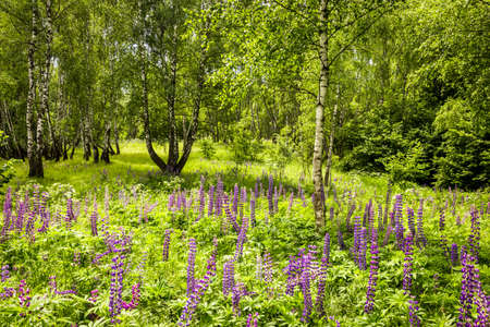 Purple lupins in a birch forest among the trunks on a summer day. Landscape.