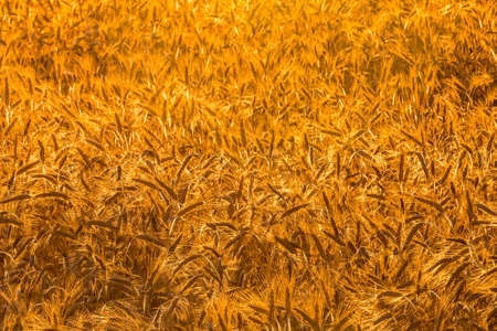 Golden ears of young rye lit by the evening rays of the sun. The concept of agriculture and cultivation of cereals. Close-up. Standard-Bild