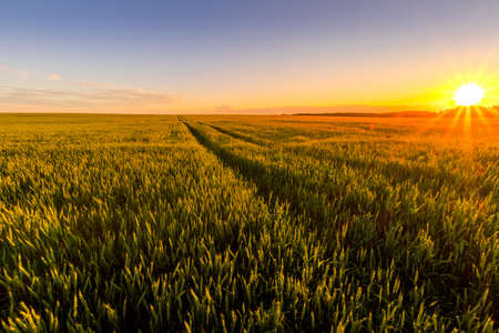 Sunset or sunrise in an agricultural field with ears of young green rye and a path through it on a sunny day. The rays of the sun pushing through the clouds. Landscape. 免版税图像
