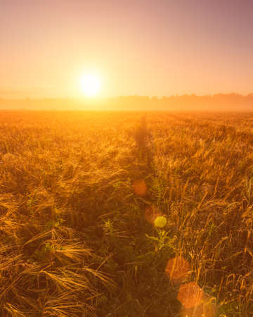 Sunrise in an agricultural field with fog, path and golden rye covered with dew on an early summer morning. Landscape.