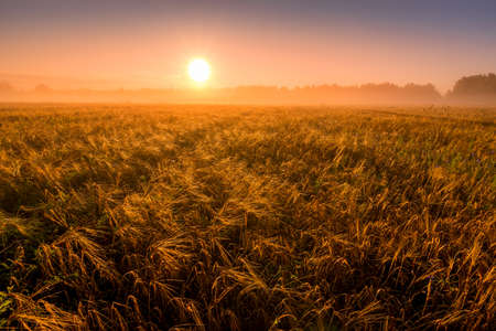 Sunrise in an agricultural field with fog and golden rye covered with dew on an early summer morning. Landscape.