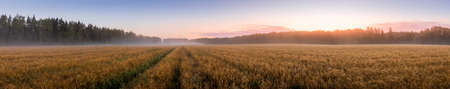 Twilight in an agricultural field with fog, path and golden rye covered with dew on an early summer morning. Panorama.