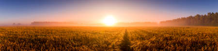 Sunrise in an agricultural field with fog, path and golden rye covered with dew on an early summer morning. Panorama.