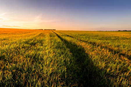 Sunset or sunrise in an agricultural field with ears of young green wheat and a path through it on a sunny day. The rays of the sun pushing through the clouds. Landscape.