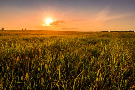 Sunset or sunrise in an agricultural field with ears of young green wheat on a sunny day. The rays of the sun pushing through the clouds. Landscape.