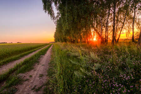 Sunset or sunrise in a summer birch forest with purple clower on a foreground and tree trunks. Landscape. 写真素材