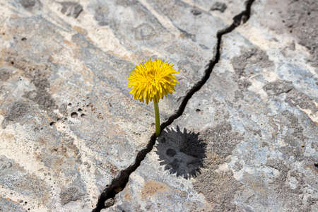A yellow dandelion flower growing from a crack in concrete or cement. The concept of growth, overcoming difficulties, strength, hope, beginning and rebirth.