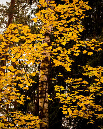 Maple with golden leaves in the autumn pine forest.