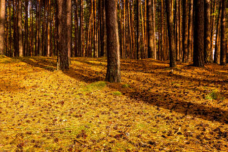 Autumn pine forest with pine trees standing in rows.