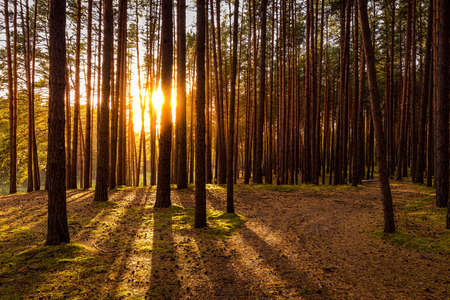 Sunset or sunrise in the autumn pine forest. Sunbeams shining between tree trunks.