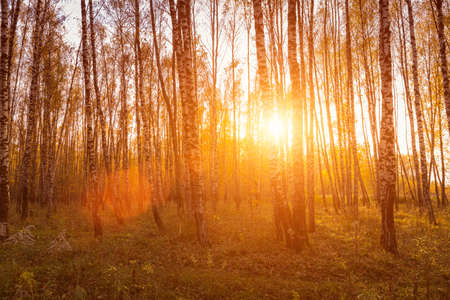 Sunset in an autumn birch grove with golden leaves and sunrays cutting through the trees on a sunny evening during the fall.