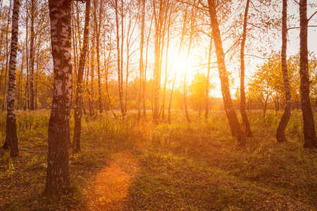 Sunset in an autumn birch grove with golden leaves and sunrays cutting through the trees on a sunny evening during the fall. Imagens