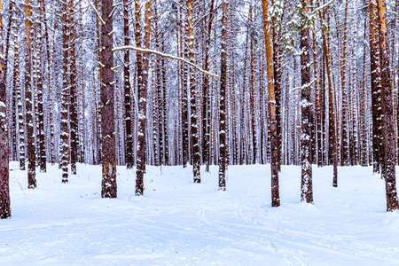 Snowfall in a pine forest on a winter cloudy day. Pine trunks covered with stuck snow.