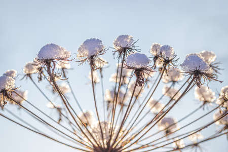 Dried flowers covered with snow and frost and illuminated by the sun at sunrise or sunset in winter.