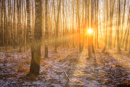The sun's rays breaking through the trunks of birches and the last non-melting snow on the ground in a birch forest in spring.