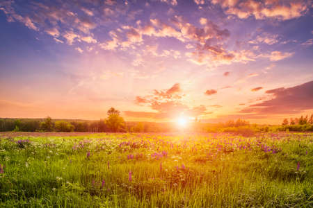 Sunset or sunrise on a field covered with flowering lupines in spring or early summer season with fog and cloudy sky.