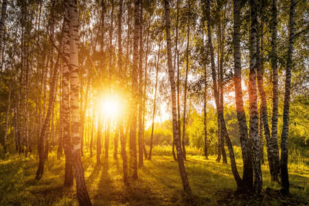 A scene of sunrise in a birch forest on a sunny summer morning with fog. Landscape. Archivio Fotografico