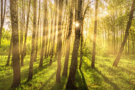 Sun rays cutting through birch trunks in a grove at sunset or sunrise in spring. Standard-Bild