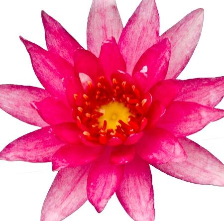 lotus Stock Photo - 8973451