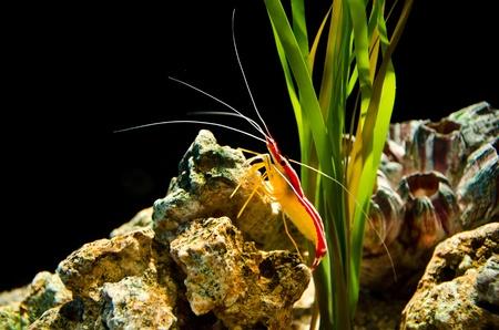Deep sea shrimp photo