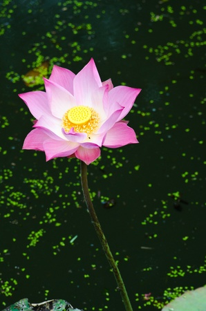 Pink lotus in the pond. Stock Photo - 11976959