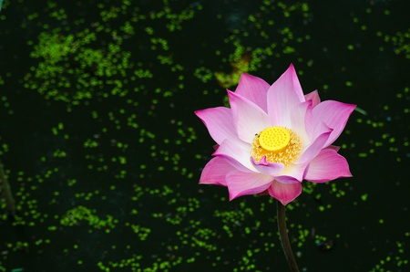 Pink lotus in the pond. 스톡 콘텐츠