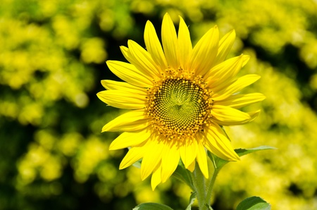 Sunflowers bloom in summer.