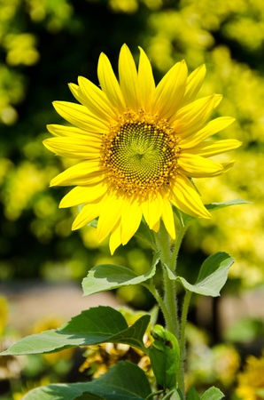 Sunflowers bloom in summer. photo