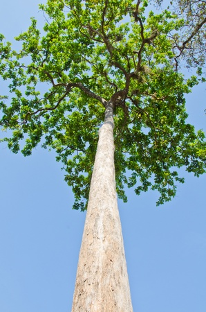 Very large rubber tree, D.alatus Roxb trees from Dipterocarpus family Dipterocarpaceae. Stock Photo
