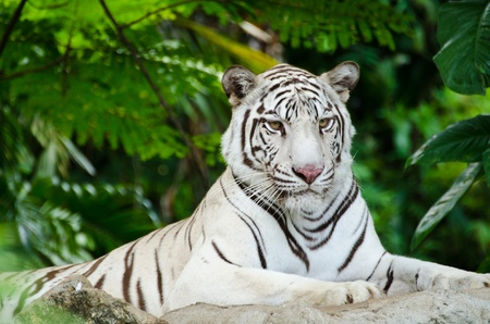 carnivores: White Bengal tiger resting on a rock