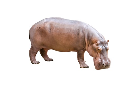 hippopotamus: Hipop�tamo aislado en el fondo blanco