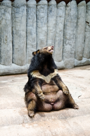foreleg: Selenarctos thibetanus, asian black bear  The scientific name Ursus thibetanus  Stock Photo
