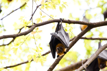 hangs: A giant bat hangs upside down from a tree
