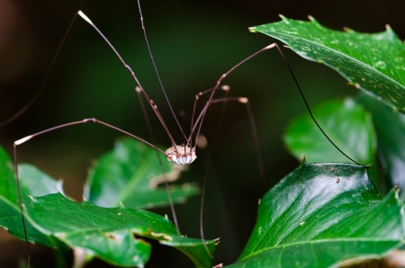 daddy long legs: Harvestman or Daddy Long Legs standing on a leaf  In the tropical rain forest