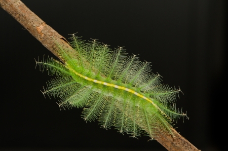 Caterpillar against black background  Family butterfly leg frontal lobe  photo