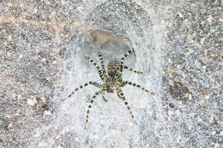 Funnel Web Spider out on his funnel web Stock Photo - 15941091