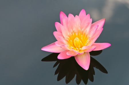 The pink lotus flower in the peaceful pond  photo