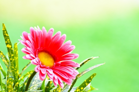 Pink gerbera on green background  Stock Photo - 18244405