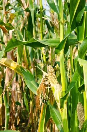 Drought Damaged Cornfield effects of prolonged hot dry weather and diseases of plants