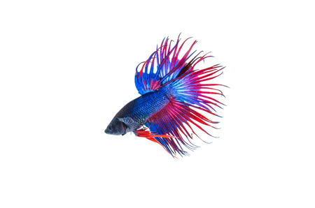 Siamese fighting fish, Crowntail, on white background  Stock Photo