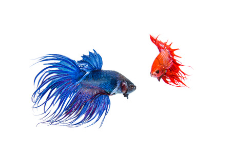 Siamese fighting fish, Crowntail, on white background Stock Photo - 27677337