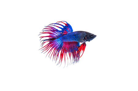 Siamese fighting fish, Crowntail, on white background Stock Photo - 27677342