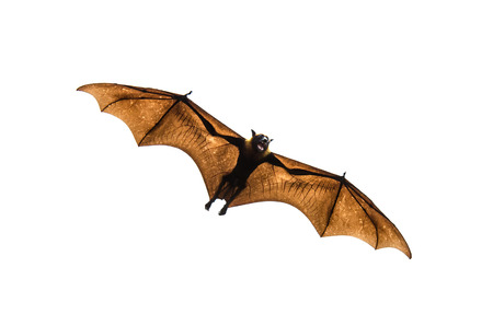 Flying fox on white background  Stock Photo