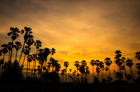 Landscape silhouette of Sugar palm tree  photo