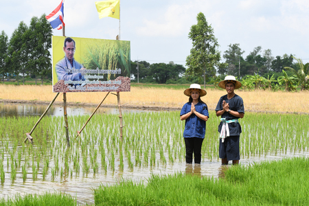 singburi: SINGBURI - THAILAND 18 : Farmers planting rice by demonstrating sufficient economy like Kings and Thailand show their loyalty to The monarchy at Bangrachan on October 18, 2016 in Singburi, Thailand. Editorial