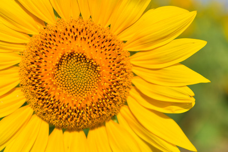 Sunflowers bloom in garden on the autumn. Seed of sunflowers have extracted oil use improve skin health and regeneration. Stock Photo