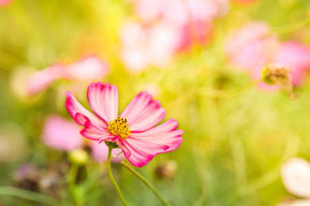 Pink cosmos flower in the wind at cosmos field. Фото со стока