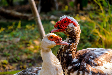 barbary: The Muscovy or Barbary Duck, Close up muscovy duck